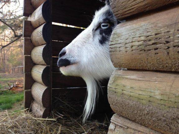 Rebecca the Goat. Plow Girl Farm
