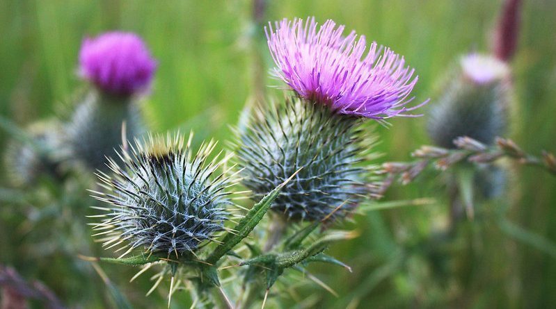 thistles with flower on top